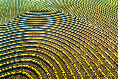 Aerial views of canola harvest lines glowing at sunset; Blackie, Alberta, Canada - p442m1580444 by Michael Interisano