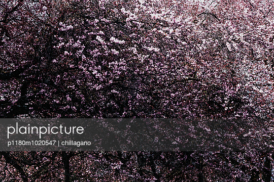Cherry blossom - p1180m1020547 by chillagano