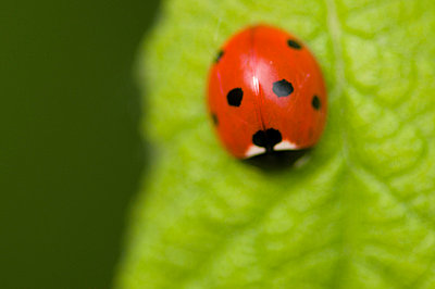 Close-up of lady beetle - p1781104 by owi