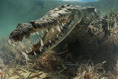 American crocodile (crocodylus acutus) in shallows showing teeth, Chinchorro Banks, Xcalak, Quintana Roo, Mexico - p429m2004477 by Rodrigo Friscione