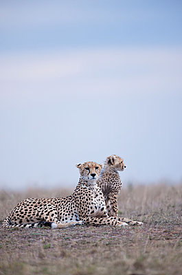 Cheetah with young - p533m1215516 by Böhm Monika