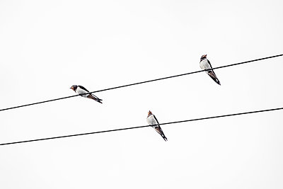 Three Swallows perched on phone lines - p1302m2151570 by Richard Nixon