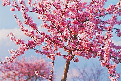 Blooming almond trees, Wine Street - p2681574 by Rudi Sebastian