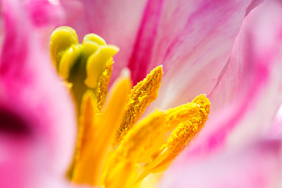 Closeup of pink Tulip flower, Lisse, South Holland, Netherlands - p343m2032694 by Ashley Cooper