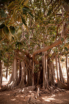 Old tree in Palermo - p382m2196289 by Anna Matzen