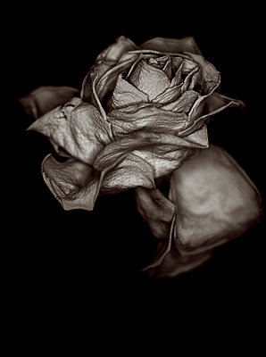 Withered - p509m960663 by Reiner Ohms