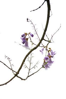 Blauglockenbaum - p606m900703 von Iris Friedrich