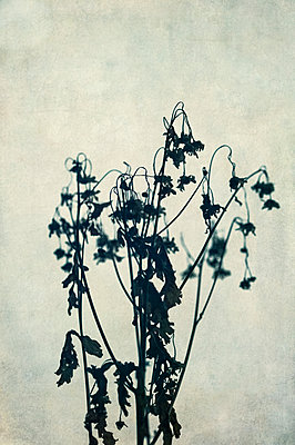 Silhouette close-up of tall dried daisy plant stalk with withered flowers against textured background - p1047m2224685 by Sally Mundy