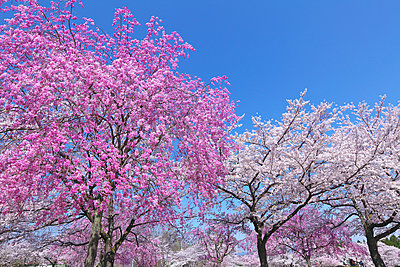 Cherry blossoms in full bloom, Japan - p307m1535058 by Tetsuo Wada