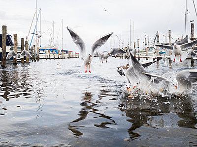 Denmark, Dragor, Water birds in harbor - p352m1349876 by Viktor Holm