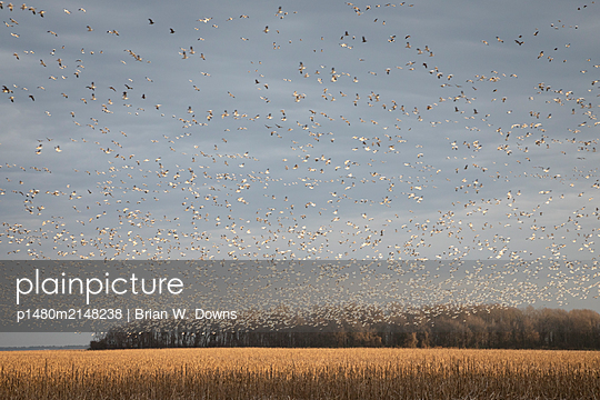 Thousands of Snow Geese blast off from a field - p1480m2148238 by Brian W. Downs