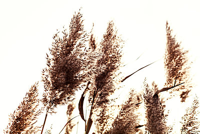 Reed in autumn - p1168m1563600 by Thomas Günther