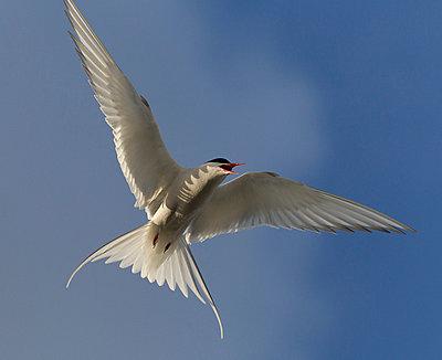 Arctic Tern flying - p884m864095 by Matthias Breiter