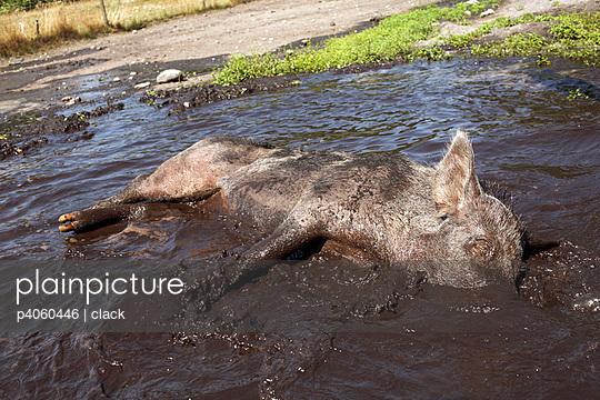 Schwein im Schlamm - p4060446 von clack