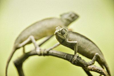 Two chameleons on a branch - p1072m1056609 by Neville Mountford-Hoare