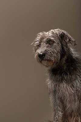 Gray haired crossbreed I - p1076m859344 by TOBSN