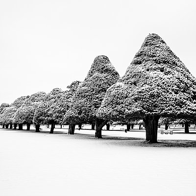 Yew Trees, Hampton Court - p1256m2099002 by Sandra Jordan