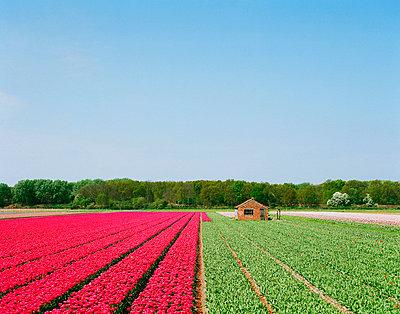 Flower crops during harvest - p42918740 by Mischa Keijser