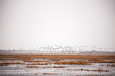 Canadian Geese (Branta canadensis) flying up from reeds in a cloudy skyline; Cumberland House, Saskatchewan, Canada - p442m1147916 by Thomas Fricke
