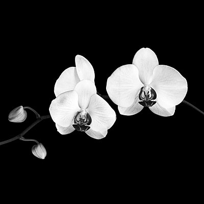 Close-up of black and white orchids - p7780003 by Denis Dalmasso