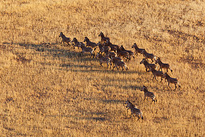 Burchell's Zebra herd running - p884m864107 by Theo Allofs