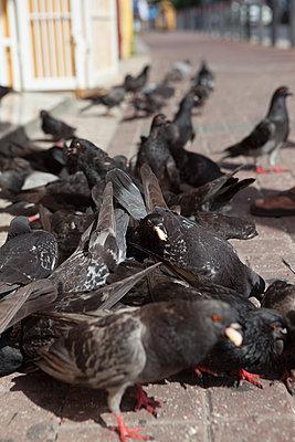 Tauben fressen Brotkrumen - p045m1564917 von Jasmin Sander