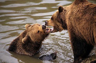 Kämpfende Bären - p330m660884 von Harald Braun