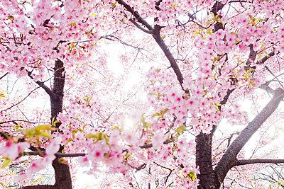 Cherry blossom in Tokyo - p956m1044304 by Anna Quinn