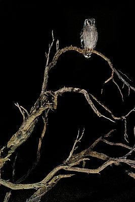 Eule auf einem Baum, Kalahari, Afrika - p1065m982594 von KNSY Bande
