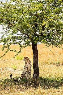 Cheetah sitting by tree on field at Serengeti National Park - p1166m1521326 by Cavan Images
