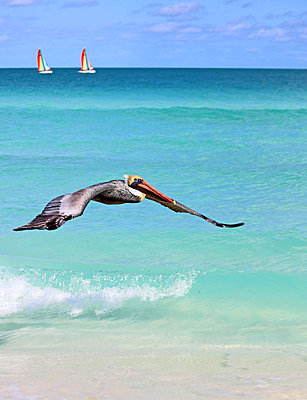 Pelikane am Strand auf Kuba - p162m2076971 von Beate Bussenius