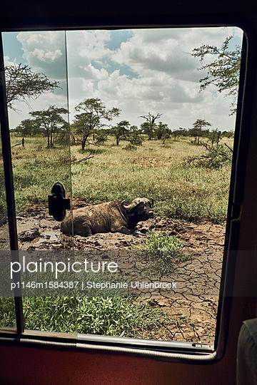 Bilck aus demAuto auf einen Büffel - p1146m1584387 von Stephanie Uhlenbrock