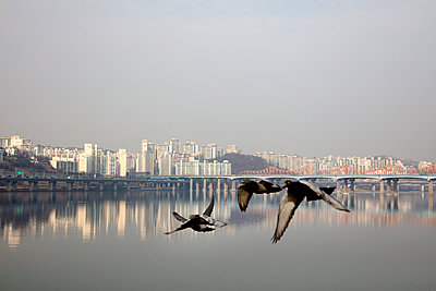 Doves in flight against Seoul skyline - p226m1444525 by Sven Görlich