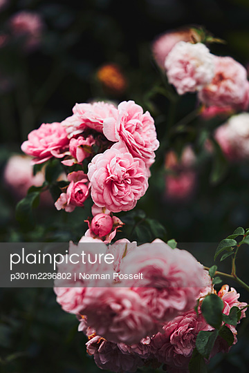 Beautiful pink rose bush - p301m2296802 by Norman Posselt