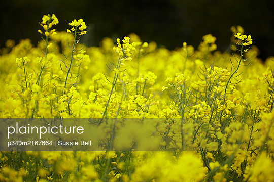 Field of flowering Rapeseed (Brassica napus). - p349m2167864 by Sussie Bell