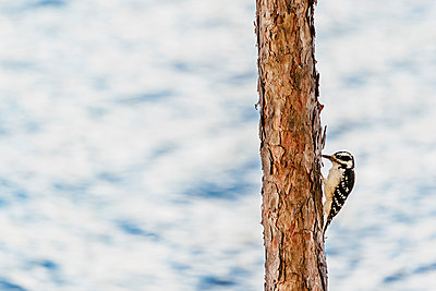 Woodpecker at Chandos Lake - p1065m982650 by KNSY Bande