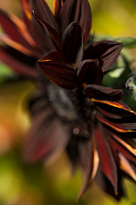 Close-up of a chocolate sunflower - p1047m1480731 by Sally Mundy