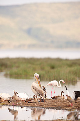 Young pelican witth egyptian geese - p533m1451914 by Böhm Monika
