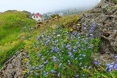 Purple wildflowers on rock by Vopnafjordur, Iceland - p871m2077705 by Eleanor Scriven