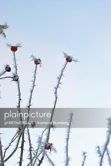 Rose hips in winter - p1657m2262421 by Kornelia Rumberg