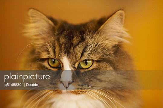 Domestic Cat One Animal Animal Head
