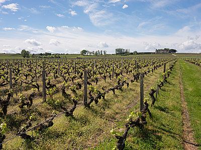 Vine and grapes - p1216m2260524 von Céleste Manet