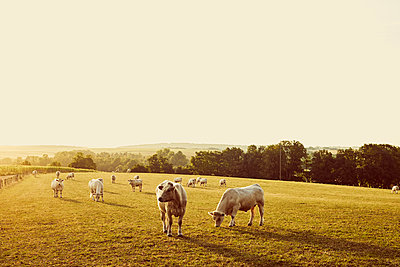 Pasture land with bulls - p1312m2284469 by Axel Killian