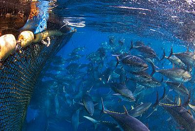 Atlantic bluefin tuna fished in seine fishing net, Malta, Mediterranean Sea - p871m2123081 by Antonio Busiello
