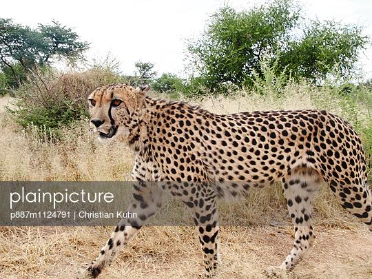 Gepard - p887m1124791 von Christian Kuhn