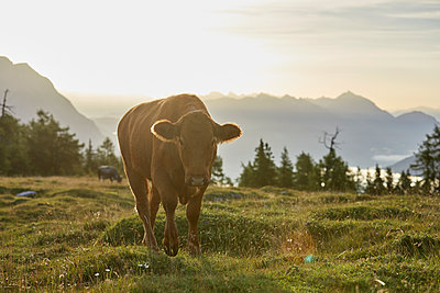 Austria, Tyrol, Mieming Plateau, cow on alpine meadow at sunrise - p300m1549927 by Christian Vorhofer
