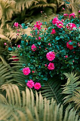 Rose bush and fern - p947m2193540 by Cristopher Civitillo