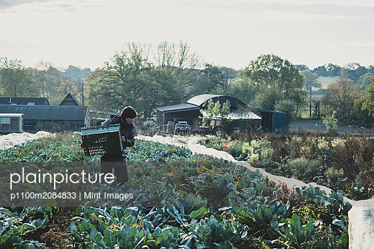 Woman standing in field, carrying plastic crate, harvesting cauliflowers. - p1100m2084833 by Mint Images