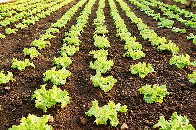 Salat - p1203m1025892 von Bernd Schumacher
