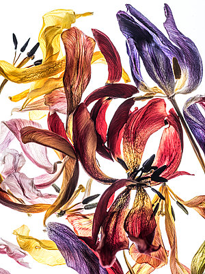 Dried tulip flowers - p401m1222569 by Frank Baquet